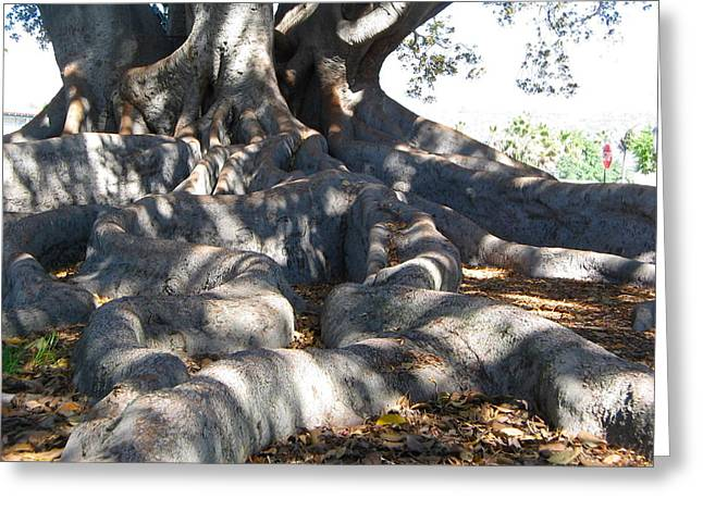 Dappled Light Greeting Cards - Roots of Large Fig Tree Greeting Card by Denise Mazzocco