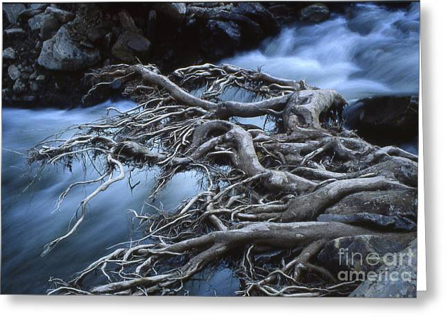 Tree Roots Greeting Cards - Roots Over Ozark Stream Greeting Card by Garry McMichael