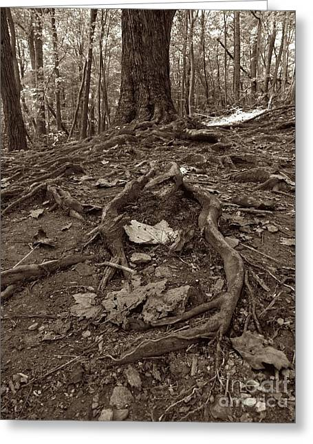 Tree Roots Greeting Cards - Roots Greeting Card by Sean Cupp