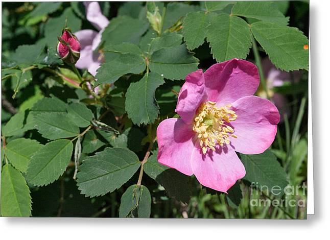 Rosa Acicularis Greeting Cards - Rosa Acicularis Greeting Card by Charles Kozierok