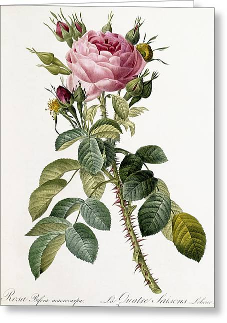 Stipple Greeting Cards - Rosa Bifera macrocarpa Greeting Card by Pierre Joseph Redoute