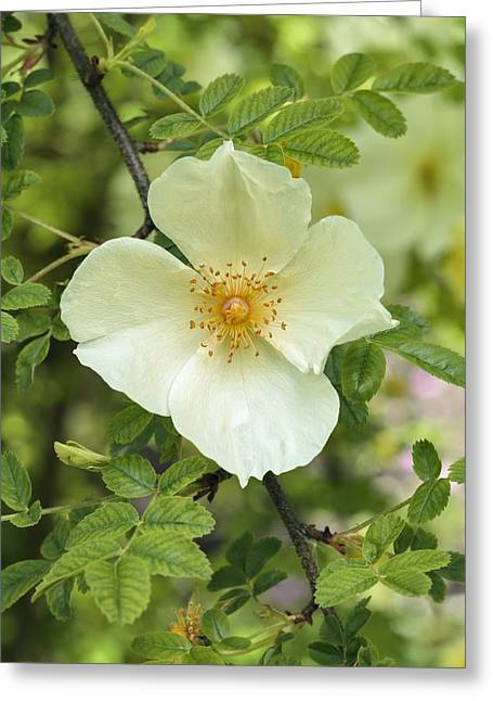 Yellow Flower Scent Greeting Cards - Rosa Cantabrigiensis Greeting Card by Science Photo Library