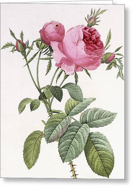 Leafy Greeting Cards - Rosa centifolia foliacea Greeting Card by Pierre Joseph Redoute
