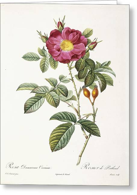 Labelled Greeting Cards - Rosa Damascena Coccina Greeting Card by Pierre Joseph Redoute