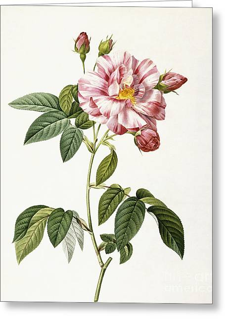 Stipple Greeting Cards - Rosa Gallica Versicolor Greeting Card by Pierre Joseph Redoute
