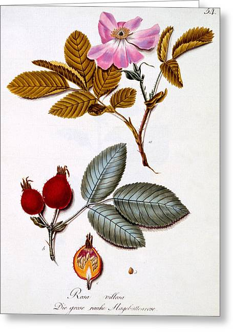 Flower Still Life Prints Greeting Cards - Rosa villosa Greeting Card by German School