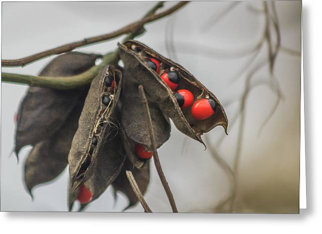 Circle B Bar Greeting Cards - Rosary Pea Greeting Card by Jane Luxton