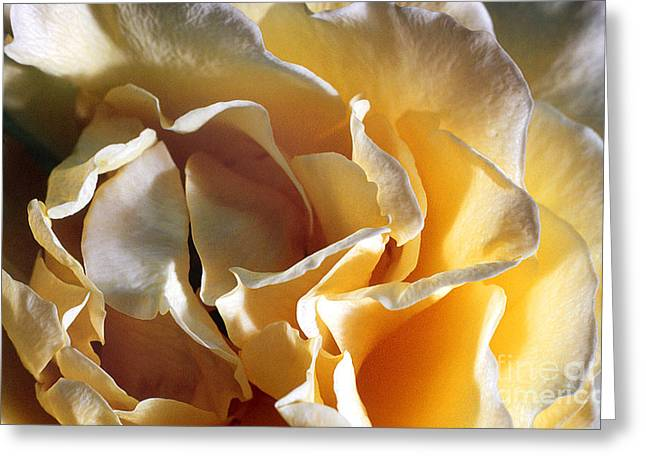 Transparency Geometric Greeting Cards - Rose 4 Greeting Card by Rich Killion