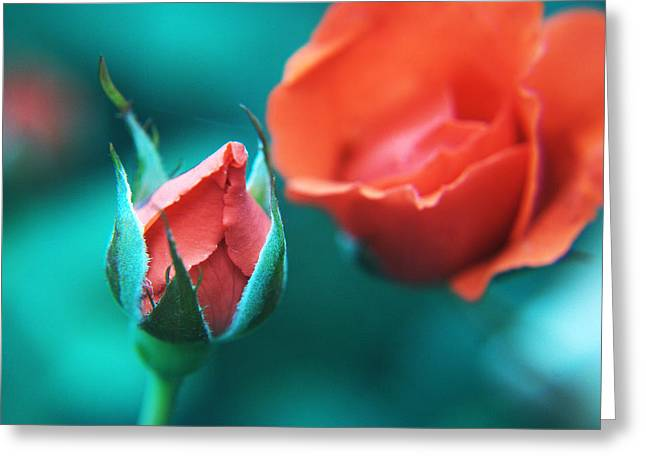 Rose Pleasure Greeting Cards - Rose and bud Greeting Card by Ocean Thakur