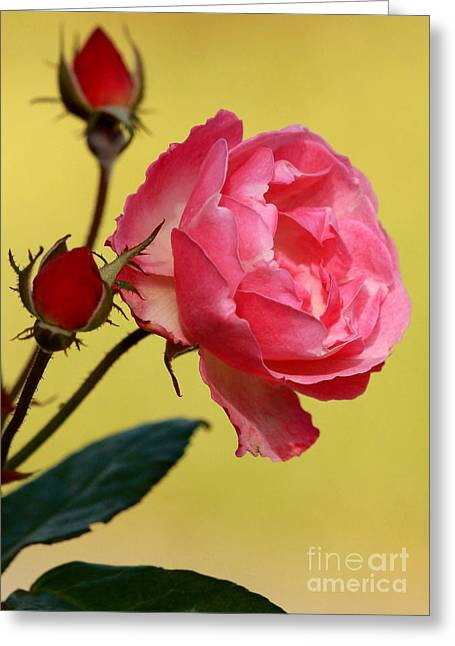 Florida Flowers Greeting Cards - Rose and Rose Buds Greeting Card by Sabrina L Ryan