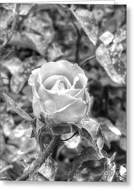 Forest Pyrography Greeting Cards - Rose Black Greeting Card by Yury Bashkin
