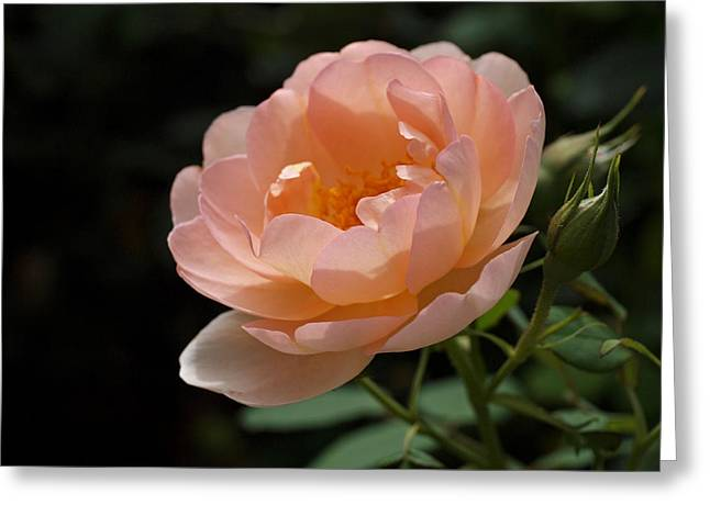 Pink Floral Greeting Cards - Rose Blush Greeting Card by Rona Black