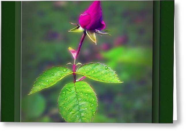 Rose Bud Greeting Card by Brian Wallace