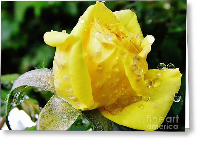 Moisture On Plants Photographs Greeting Cards - Rose Bud Dew Drops Greeting Card by D Hackett