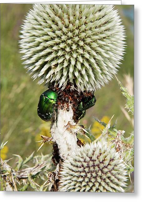 Rose Chafers And Ants On Thistle Flowers Greeting Card by Bob Gibbons
