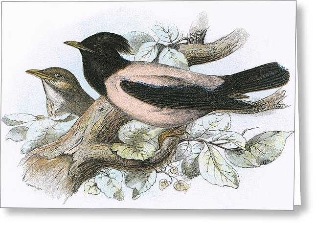 Starlings Greeting Cards - Rose Coloured Starling Greeting Card by English School
