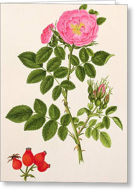 In Full Bloom Greeting Cards - Rose Eglanteria Greeting Card by T Goetz