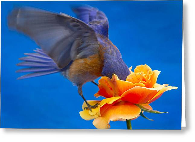 Passeriformes Greeting Cards - Rose excavation Greeting Card by Jean Noren