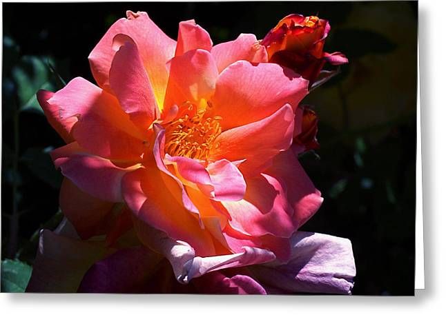 Florals Greeting Cards - Rose Glow Greeting Card by Rona Black