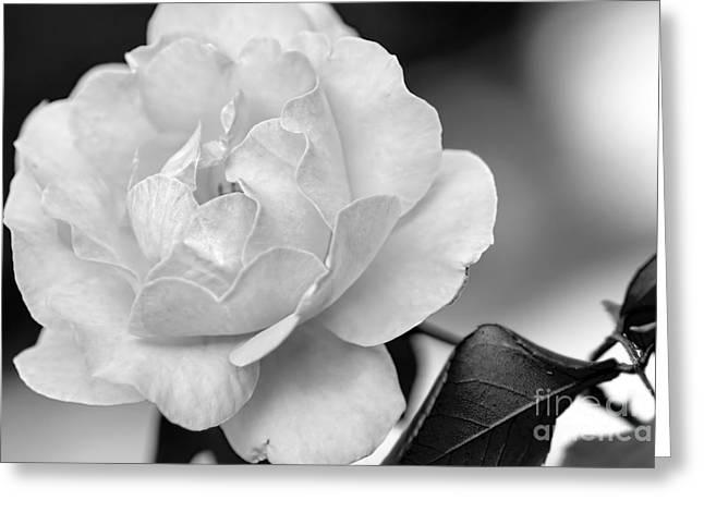 White Rose Wall Art Greeting Cards - Rose in Black and White by Kaye Menner Greeting Card by Kaye Menner