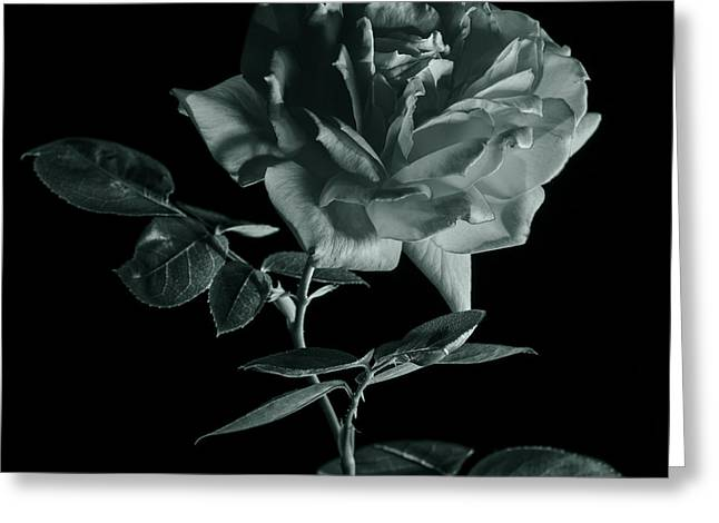 Isolated On Black Background Greeting Cards - Rose in monochrome Greeting Card by Vishwanath Bhat
