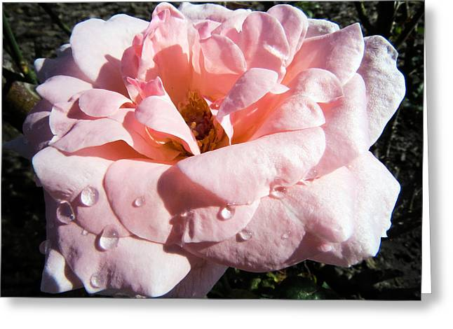 Water Drops On Rose Greeting Cards - Rose like silk with dew Greeting Card by Zina Stromberg