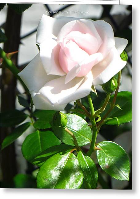 True Friendship Greeting Cards - Rose named Pearl Greeting Card by Sonali Gangane