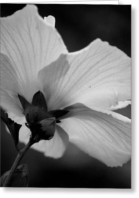 Maria Urso Greeting Cards - Rose of Sharon Backside Greeting Card by Maria Urso