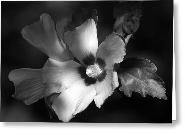 Rose Of Sharon Greeting Cards - Rose of Sharon Greeting Card by Donna Kennedy