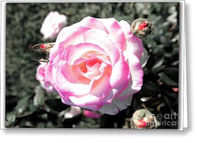 Pinks And Purple Petals Greeting Cards - Rose on Black and White Greeting Card by Stefano Senise
