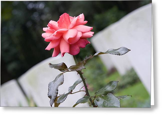 Limburg Greeting Cards - Rose on the Airborne War Cemetery Oosterbeek Netherlands Greeting Card by Ronald Jansen