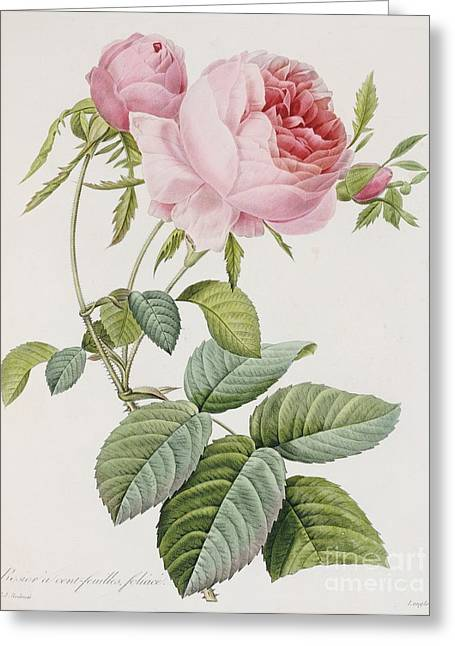 Pink Flower Greeting Cards - Rose Greeting Card by Pierre Joesph Redoute