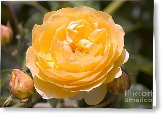 Charlotte Greeting Cards - Rose (rosa charlotte) Greeting Card by Adrian Thomas