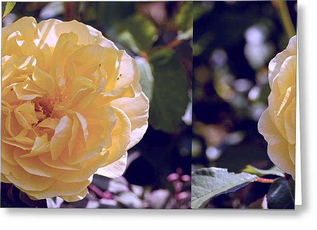 Charlotte Photographs Greeting Cards - Rose (Rosa Charlotte Auspoly) Greeting Card by Science Photo Library