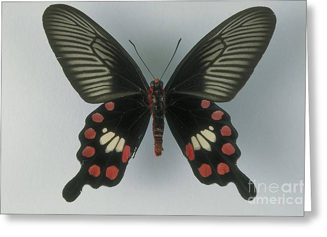 Underside Greeting Cards - Rose Swallowtail Butterfly Greeting Card by Barbara Strnadova