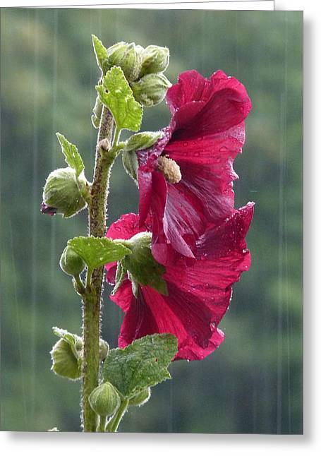 Roses Tremieres Greeting Cards - Rose tremiere sous la pluie Greeting Card by Magali Gauthier