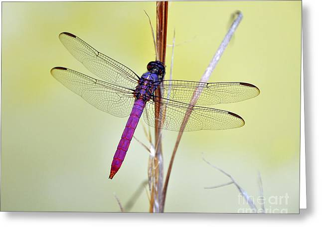 Roseate Skimmer Dragonfly Greeting Card by Al Powell Photography USA