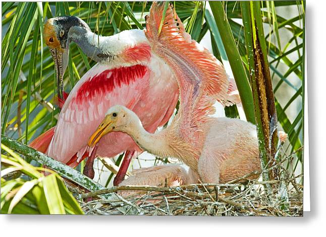 Feeding Young Greeting Cards - Roseate Spoonbill Adult And Nestlings Greeting Card by Millard H. Sharp