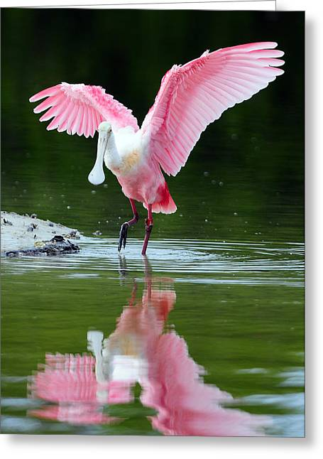 Best Sellers -  - Wildlife Refuge. Greeting Cards - Roseate Spoonbill Greeting Card by Clint Buhler