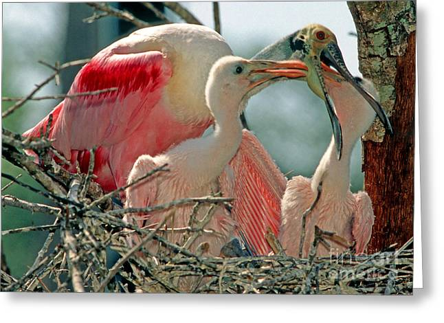 Roseate Spoonbill Feeding Young At Nest Greeting Card by Millard H. Sharp