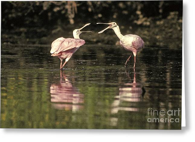 Roseate Spoonbill Greeting Card by Ron Sanford