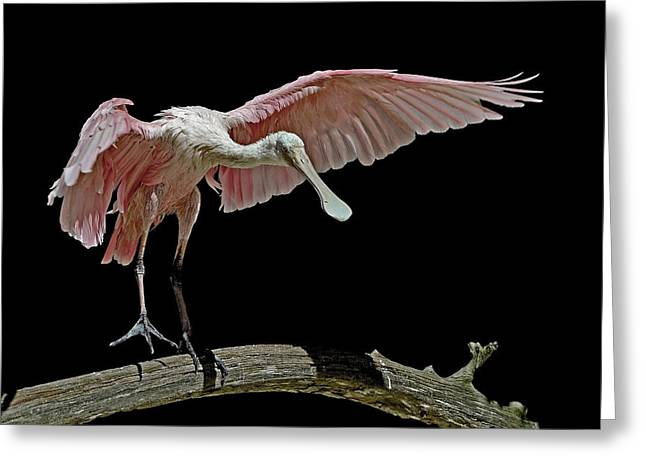 Roseate Spoonbill Greeting Card by Stuart Harrison