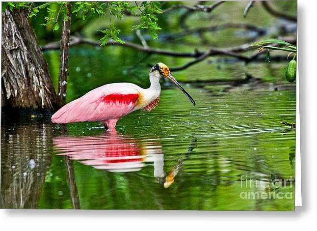 Roseate Spoonbill Wading Greeting Card by Anthony Mercieca