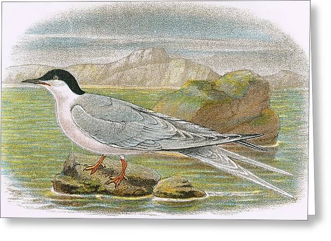 Tern Greeting Cards - Roseate Tern Greeting Card by English School