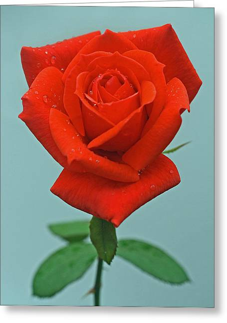 Photographs With Red. Greeting Cards - Rosebud Greeting Card by Joan Powell