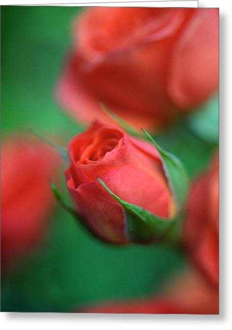 Rose Photos Greeting Cards - Rosebud  Greeting Card by Kathy Yates