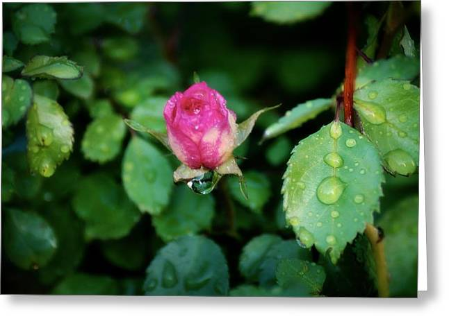 Dripping Rose Greeting Cards - Rosebud Greeting Card by KJ Bruce - Infinity Fusion Art
