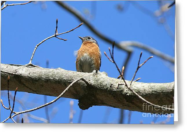 Wildlife Photograph Greeting Cards - Roseland Spring Bluebird  Greeting Card by Neal  Eslinger