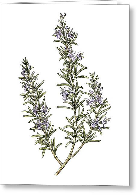 Rosemary (rosmarinus Officinalis) Greeting Card by Science Photo Library