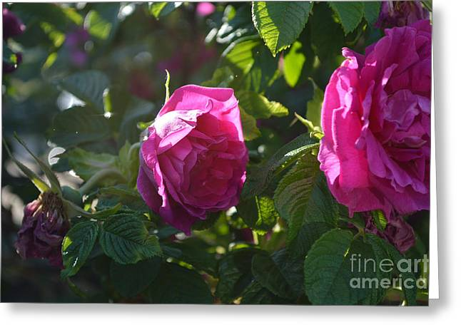 Indiana Flowers Greeting Cards - Roses At Sunrise Greeting Card by Alys Caviness-Gober